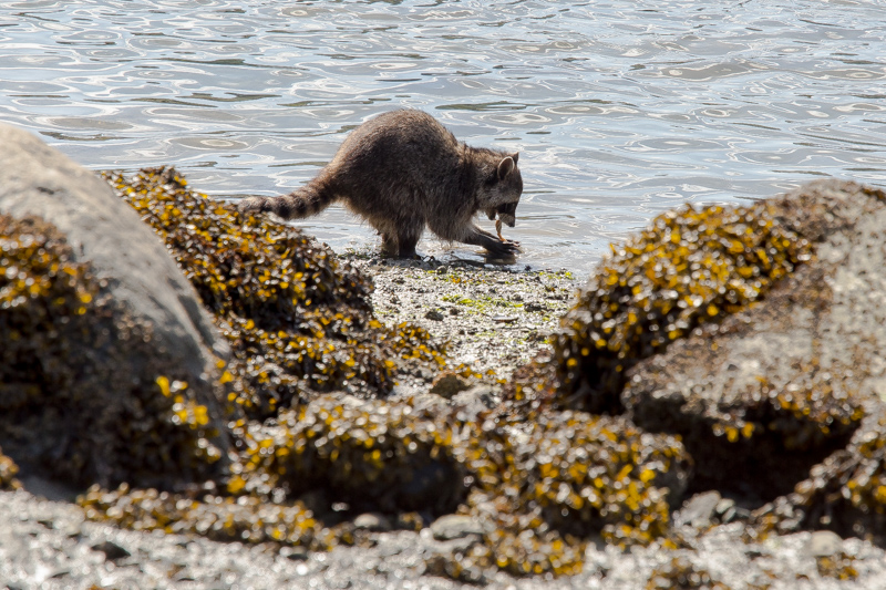 Name:  Racoon hunting clams-103.JPG