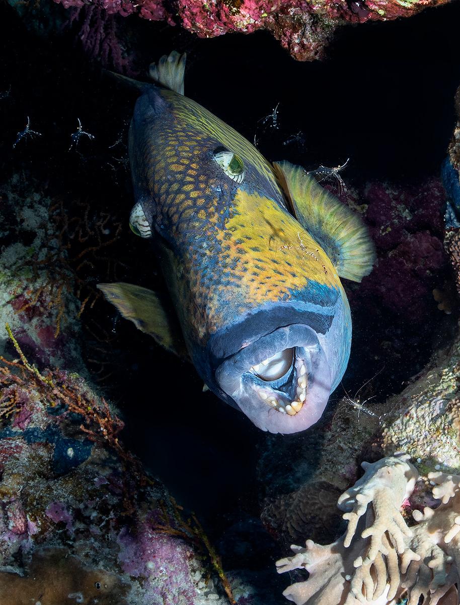 Name:  Titan-triggerfish-cleaning-station-1200V.jpg Views: 39 Size:  583.1 KB
